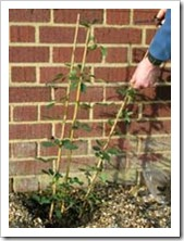 زراعة نبات الجهنمية(المجنونة Bougainvillea 4_thumb[2].jpg?imgmax=800